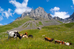 Mountain landscape with grazing cows. Cows grazing on a mountain in the valley against the backdrop of beautiful mountains Royalty Free Stock Photos