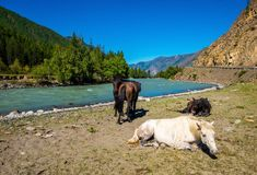 Altai mountains in the sunny summer. Mountain landscape. Horses on the bank of the Chuya River in the Altai Republic Royalty Free Stock Image