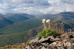 Mountain landscape in Magadan area. Wild flowers on a stony slope with mountain range in the background Royalty Free Stock Photo
