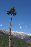 Mountain landscape - pine tree in the Himalayas Royalty Free Stock Photography