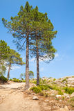 Mountain landscape with pine trees on rock. Nature of Corsica island, mountain landscape with pine trees growing on rock Stock Photos