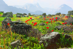 Mountain landscape with red poppy flowers Royalty Free Stock Photography