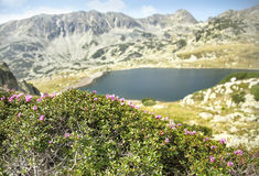 Mountain Landscape with Rhododendron kotschyi Flowers Stock Image