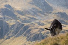 Donkey grazing up in the Carpathians mountains Royalty Free Stock Photography