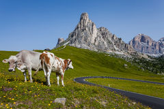 Mountain landscape - Road and cows. Royalty Free Stock Photos
