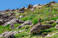 Mountain landscape scenery with Ptarmigan camouflaged in the roc Stock Image