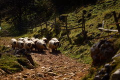 Mountain landscape with sheep in autumn morning  - Fundatura Pon Royalty Free Stock Image