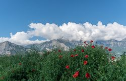 Mountain landscape in Switzerland under a blue sky with white clouds and red poppies in the foreground. A view of mountain landscape in Switzerland under a blue Royalty Free Stock Photo