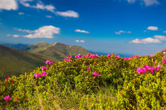 Mountain landscape valley with pink Rhododendron Royalty Free Stock Images