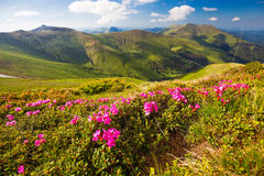 Mountain landscape valley with pink Rhododendron flowers Royalty Free Stock Photo