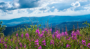 Blue mountains with beautiful pink flowers on the foreground Stock Photography