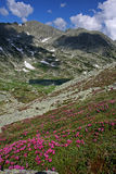 Mountain lanscape-Rhododendron, lake, snow patches. Rhododendrons flowers carpet on the way to Bucura Lake and Pelaga Peak. Retezat National Park, Romania Royalty Free Stock Images