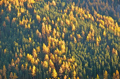 Mountain larches in the autumn Royalty Free Stock Photo