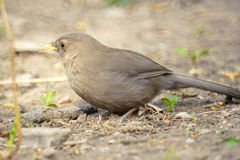 Mountain laughingthrush Royalty Free Stock Photography