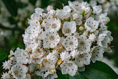 Mountain Laurel – Kalmia latifolia. Close-up of a cluster of Mountain Laurel flowers located in the Blue Ridge Mountains of Virginia, USA royalty free stock photo