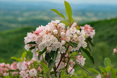 Mountain Laurel – Kalmia latifolia. Cluster Mountain Laurel flowers located in the Blue Ridge Mountains of Virginia, USA royalty free stock images