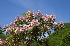 Mountain Laurel. In Full Bloom, Mountains in the Background Against Blue Sky Stock Photo