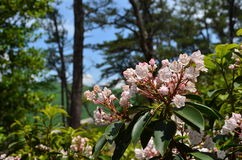Mountain Laurel Royalty Free Stock Photography