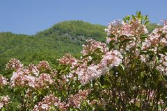 Mountain Laurel. In Full Bloom Royalty Free Stock Image