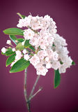 Mountain laurel Royalty Free Stock Photos