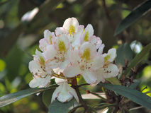 Mountain Laurel Royalty Free Stock Images