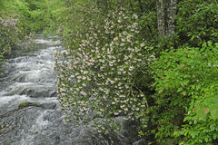 Mountain Laurel Along a Raging Stream in Spring Stock Image