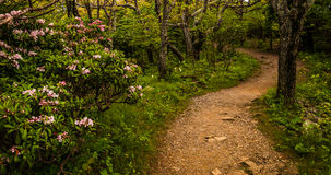 Mountain laurel along a trail in Shenandoah National Park Royalty Free Stock Photo
