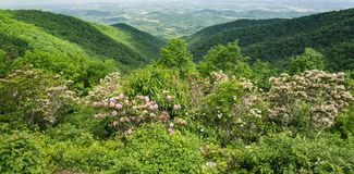 Mountain Laurel, Blue Ridge Mountains and Shenandoah Valley - 4. View of Mountain Laurel in bloom in the Blue Ridge Mountains and Shenandoah Valley in the stock photography