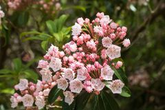 Mountain laurel bush in bloom in June. Mountain laurel kalmia latifolia bush in bloom with a blurred background stock photos
