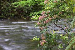 Mountain Laurel Beside a Creek Stock Images