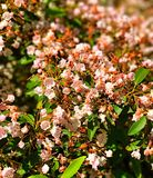 Mountain laurel flowers blooming. A field of mountain laurel flowers blooming in the spring in Connecticut United states Stock Photography