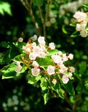 Mountain laurel flowers blooming. A field of mountain laurel flowers blooming in the spring in Connecticut United states Royalty Free Stock Photos