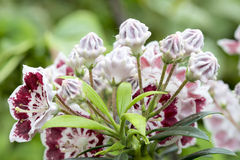Mountain Laurel Flowers Minuet Closeup stock image