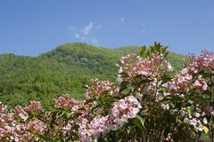 Mountain Laurel in Full Bloom. Mountains in the Background stock image