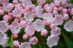 Mountain laurel Stock Images