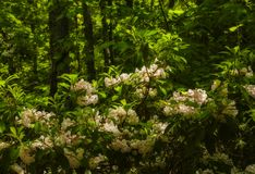 Mountain Laurel, Great Smoky Mtns NP Royalty Free Stock Photo