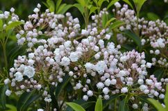 Mountain Laurel (Kalmia latifolia) Stock Photos