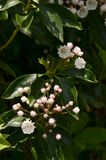 Mountain Laurel (Kalmia latifolia) Royalty Free Stock Photos