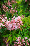 Mountain Laurel Kalmia Latifolia. Cluster of mountain laurel, also known as calico bush or spoonwood, a broadleaved evergreen shrub with gorgeous pink and white Stock Image