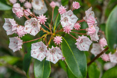 Mountain Laurel (Kalmia Latifolia) Stock Images