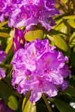 Mountain Laurel in Ketchikan, Alaska Stock Image