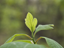 Mountain Laurel Leaf. This is a mountain laurel leaf shot on the Appalachian trail Royalty Free Stock Photo