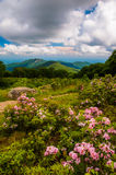 Mountain laurel in meadow and view of Old Rag from an overlook o Royalty Free Stock Photo