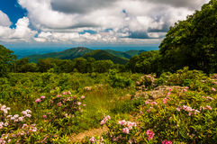 Mountain laurel in meadow and view of Old Rag from an overlook in Shenandoah National Park Stock Image
