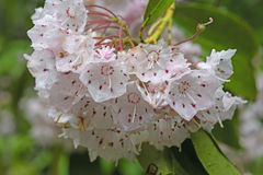 Mountain Laurel in the Spring Stock Images