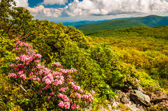 Mountain laurel and view of the Appalachians on Stony Man Mounta Stock Images
