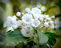 Mountain Laurel. Wild Mountain Laurel Blooms in a Kentucky forest Stock Image