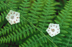 Mountain Laurels and Ferns Stock Photo