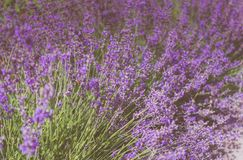 Mountain lavender. Fragrant purple field flowers Royalty Free Stock Images