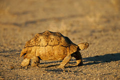 Mountain (leopard) tortoise, South Africa Stock Photos